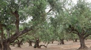 Oliven 8
