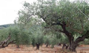 Oliven 9
